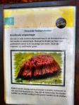 roodbruin-netpluimpje-naarbuiten-vreemde-paddenstoelen-staatsbosbeheer